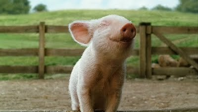 happiest pig in all of the land